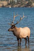 Rutting Bull Elk in Lake — Stock Photo