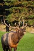 Bull Elk Bugling — Stock Photo