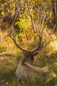Bull Elk Bedded — Stock Photo