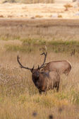 Bull Elk in Rut — Stock Photo