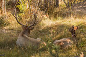 Bull and Cow Elk Bedded — Stock Photo