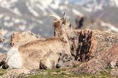 Bighorn Sheep Ewe and Lamb — Stock Photo