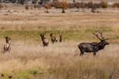 Bull Elk In Rut With Cows — Stock Photo