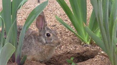 Cottontail Rabbit — Stock Video