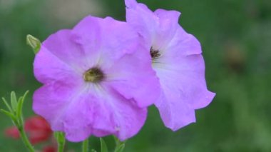 Violet flower largely — Stock Video