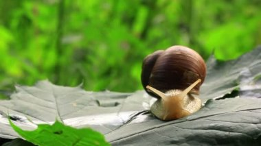 Snail slowly creeps on a green leaf. Close up — Stock Video