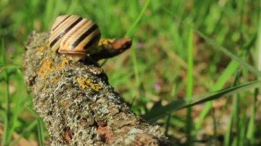 Snail on a branch. Close up. Time lapse — Vídeo stock