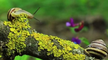 Two snails on a branch. Close up. Time lapse — Vídeo de Stock