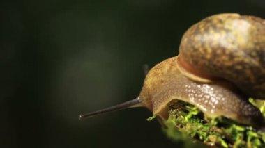 Creeping-away snail. Macro. Real time — Stock Video