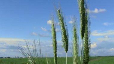 Wheat ears in field  against blue sky — Stock Video
