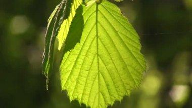 Zelený mladý list slunci se třese na vítr — Stock video