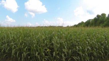 Campo de milho e céu com nuvens. Vista aérea — Vídeo stock