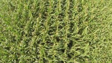 Flight over  Corn field. Aerial top view — Vídeo stock