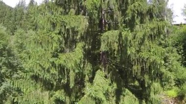 Flight over fir-tree with seeds in mountains. Aerial — Stock Video