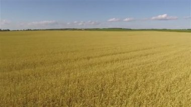 Yellow field of wheat with waves from  wind as sea.  Aerial   landscape — Stock Video