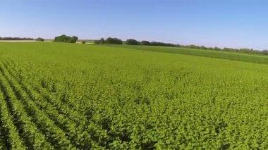 Verde agrícola cereais. Aérea — Vídeo stock