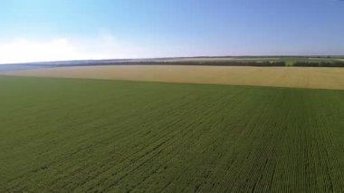 Panorama da paisagem rural, com campos verdes e amarelos. Aérea — Vídeo stock
