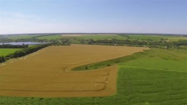 Yellow field of wheat. Aerial agricultural  landscape — Stock Video