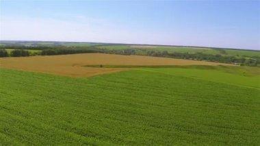 Campo verde e amarelo. Paisagem agrícola aérea — Vídeo stock
