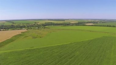 Yellow and green  field of wheat. Aerial agricultural  landscape — Stock Video