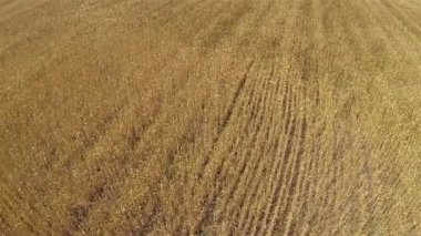 Yellow  wheat field  Aerial agricultural  landscape, top view — Stock Video