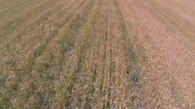 Yellow  wheat field  Aerial agricultural  landscape, Fast flight — Stock Video