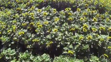 Beautiful  flight over sunflowers. Aerial  top view — Vídeo de stock