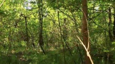 Slow walking  in dense  wood. Steadicam shot — Stock Video