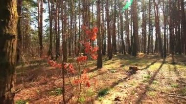 Morning beautiful wood.  stabilized landscape with movement. — Vidéo