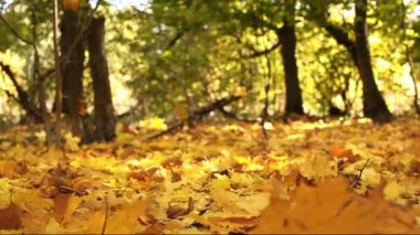 Forest autumn landscape with yellow leaves. Dolly shot — Stock Video