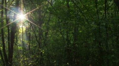 Sunbeams in green  wood. PAL Time lapse — Stock Video