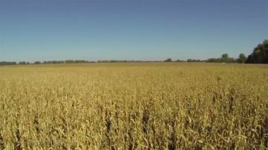 Slow Flight over yellow ripened corn field. Aerial — Stock Video