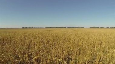 Flight over the yellow ripened corn field. Aerial — Stock Video
