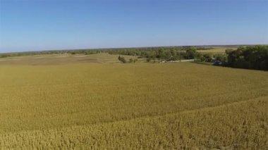 Flight over yellow ripened corn field. Aerial summer — Stock Video