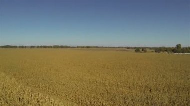 Up Flight over yellow ripened corn field. Aerial — Stock Video