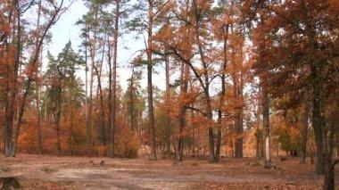 Quiet autumn bright wood. Landscape PAL — Stock Video