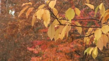 Tree branch with yellow leaves and autumn wood. Landscape PAL — Stock Video