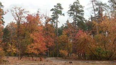 Forest autumn landscape.  PAL — Stock Video