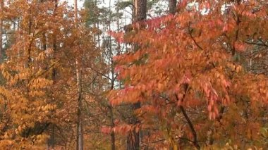 Beautiful autumn  tree with red leaves.  PAL — Stock Video