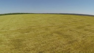 Flight  up over wheat field. Aerial  view — Stock Video