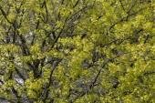 Maple tree leaves — Stock Photo