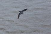 Pelagic Cormorant — Stock Photo