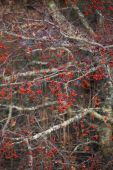 Red crabapples — Stock Photo
