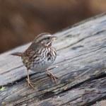 Song sparrow — Stock Photo #77980408