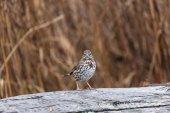Fox Sparrow — Stock Photo