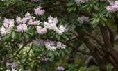 Pink azalea — Stock Photo
