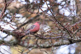 Pine Grosbeak — Stock Photo
