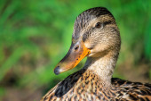 Close up of female mallard duck — Stock Photo