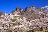 Cherry tree and Crag Mountain — Stock Photo