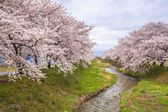 Cherry blossoms and stream — Stock Photo